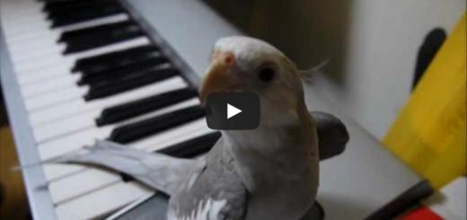 Dainuojanti papūga