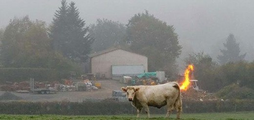Karvė bezdanti ugnimi