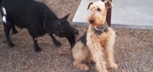 Ožka ir šuo