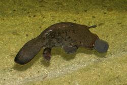 250px-Platypus